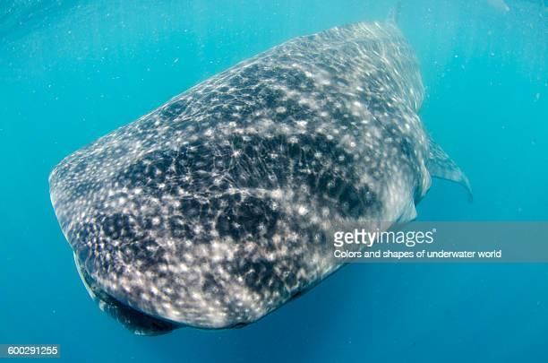 whale shark floating in the waters of isla mujeres - mujeres fotos stockfoto's en -beelden