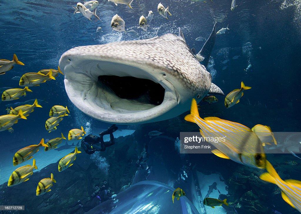 Whale shark in Captivity. : Stock Photo