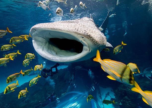 Whale Shark In Captivity. Wall Art