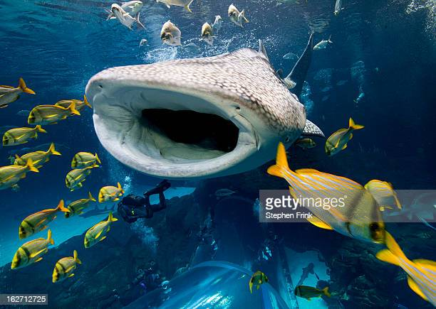 whale shark in captivity. - whale shark stock pictures, royalty-free photos & images