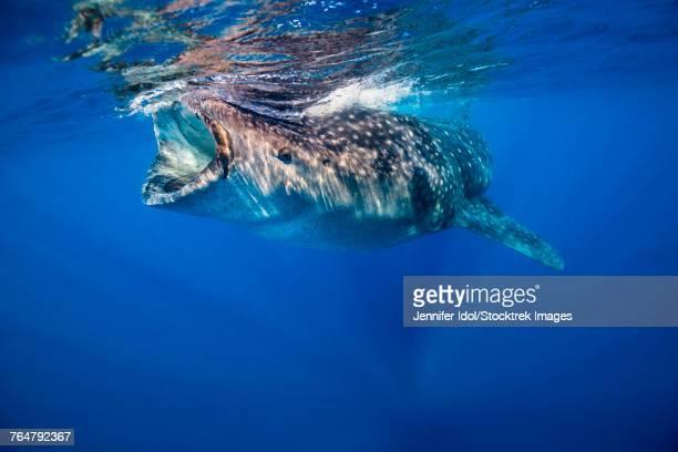 whale shark in isla mujeres, mexico. - mujeres fotos stockfoto's en -beelden