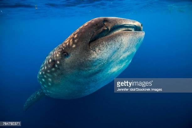whale shark in isla mujeres, mexico - mujeres fotos stockfoto's en -beelden