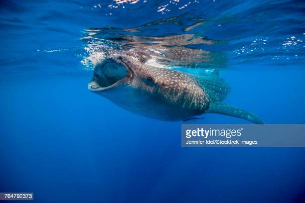 Whale shark in Isla Mujeres, Mexico.