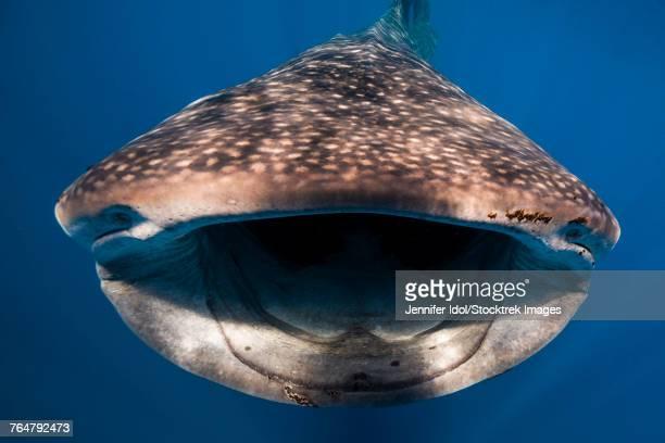 whale shark in isla mujeres, mexico. - mujeres fotos imagens e fotografias de stock