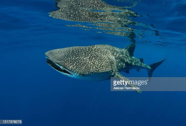 whale shark in the blue water - shark stock pictures, royalty-free photos & images