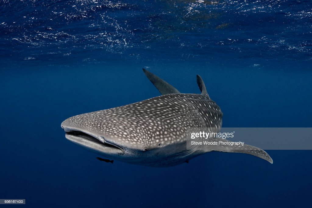 Whale shark in the waters of Tonga : Stock Photo