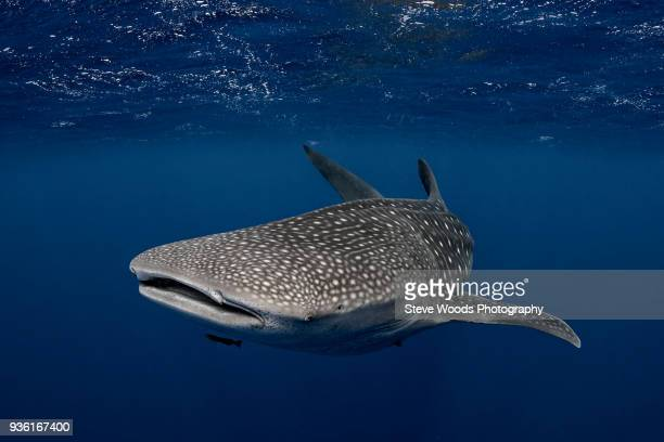 whale shark in the waters of tonga - whale shark stock pictures, royalty-free photos & images