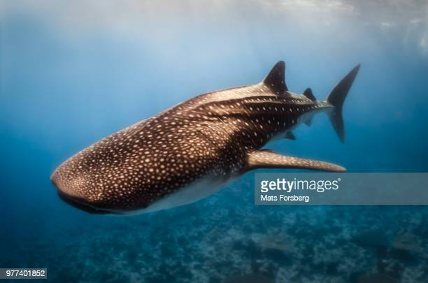 whale shark (rhincodon typus), maldives - whale shark stock pictures, royalty-free photos & images