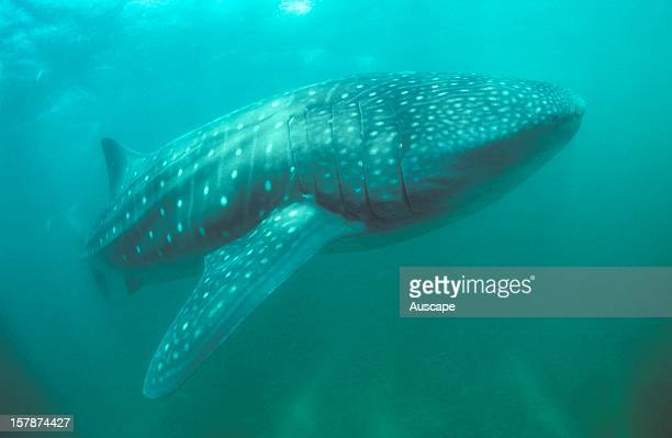 Whale shark may grow to 18 m and weigh 40 000 kg Ningaloo Marine Park north of Carnarvon Western Australia