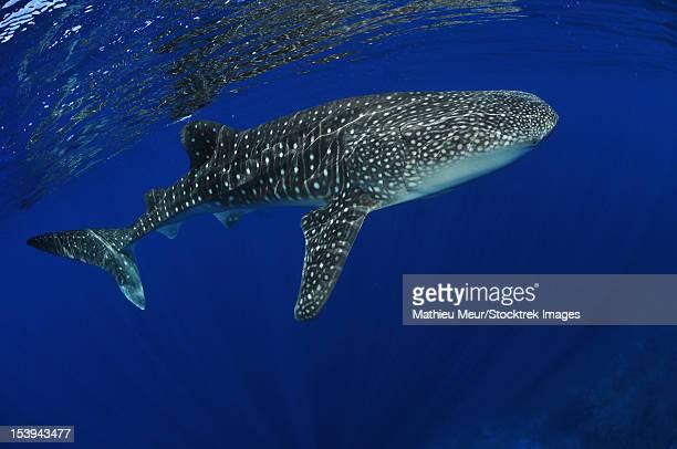 whale shark near surface with sun rays, christmas island, australia. - christmas island stock pictures, royalty-free photos & images