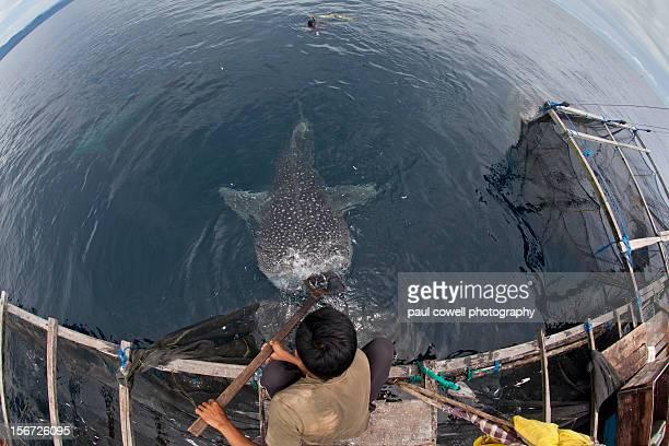 Whale shark of Cenderawasih bay, indonesia