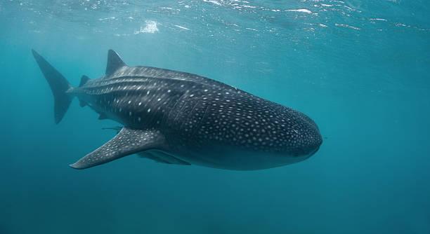Whale Shark Wall Art