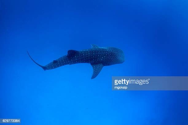 whale shark - male maldives stock pictures, royalty-free photos & images