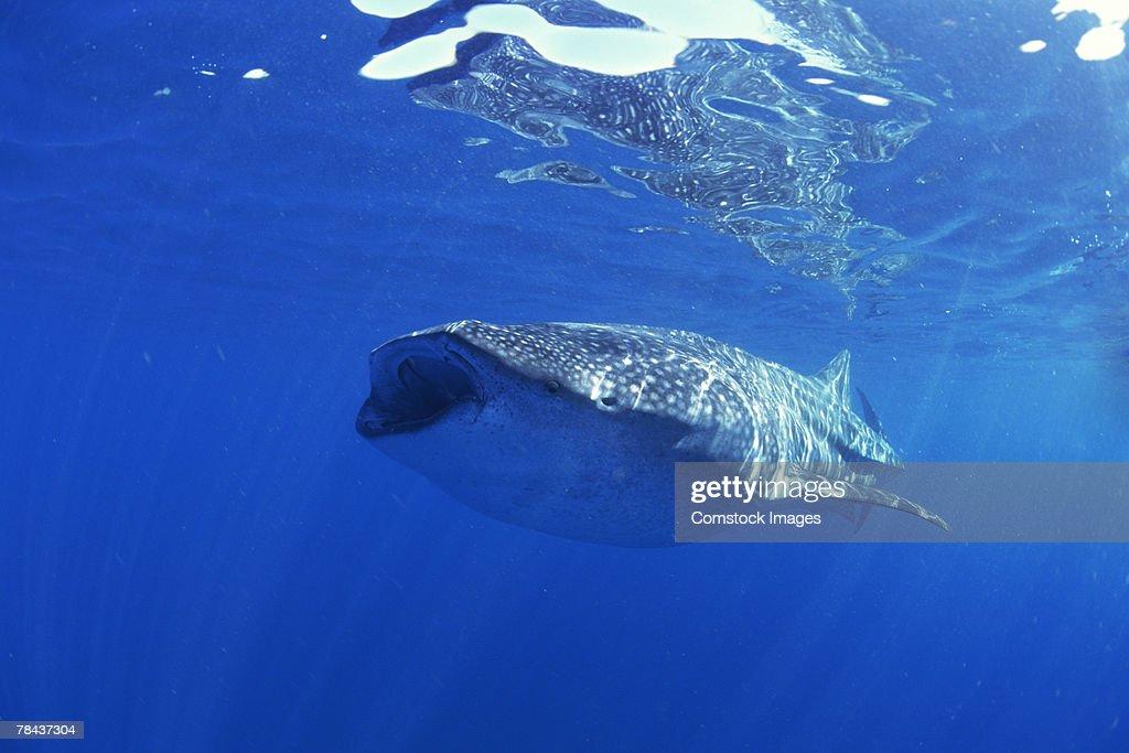 Whale shark : Stockfoto