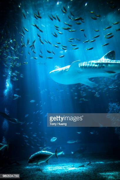 whale shark - whale shark stock pictures, royalty-free photos & images