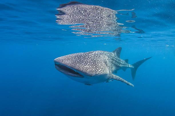 Ningaloo reef whale sharks
