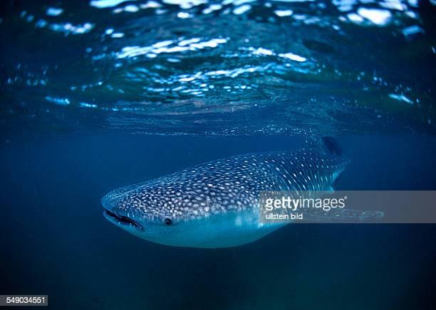 Whale shark Rhincodon thypus Djibouti Djibuti Africa Afar Triangle Gulf of Aden Gulf of Tadjourah