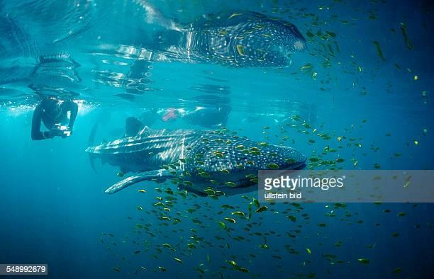 Whale shark, Rhincodon thypus, Mexico, Sea of Cortez, Baja California, La Paz