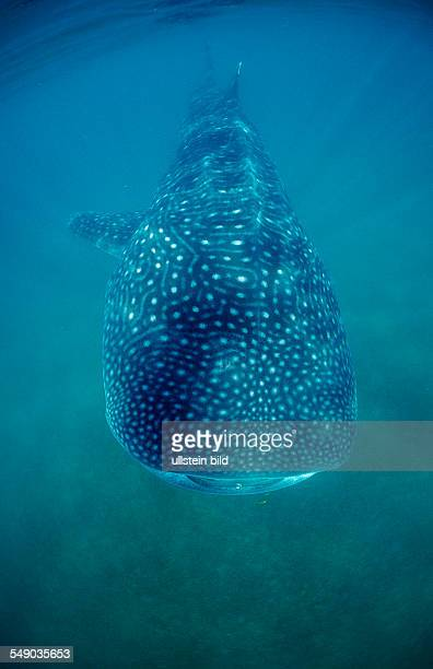 Whale shark Rhincodon thypus Mexico Sea of Cortez Baja California La Paz