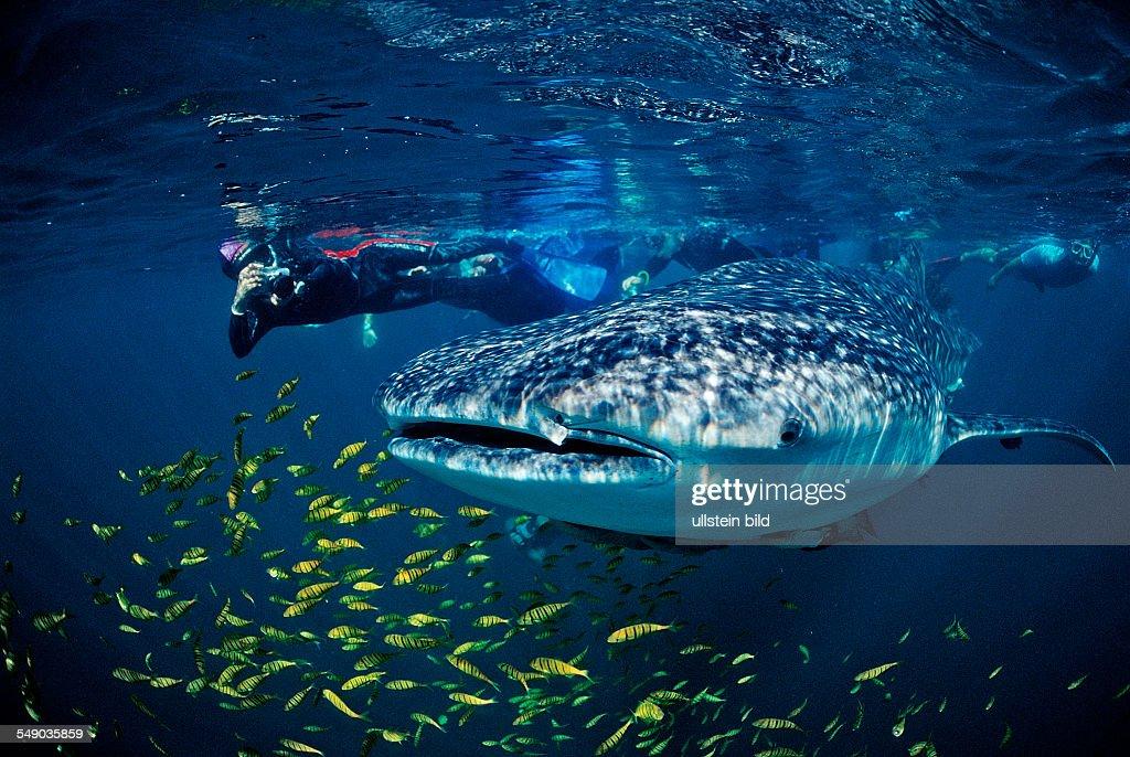 Whale shark, Rhincodon thypus, Mexico, Sea of Cortez, Baja California, La Paz : News Photo
