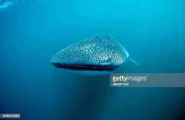 Whale shark Rhincodon thypus Reunion La Réunion France Indian Ocean