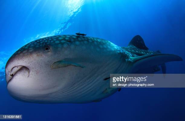 whale shark, rhincodon typus, closeup - central sulawesi stock pictures, royalty-free photos & images