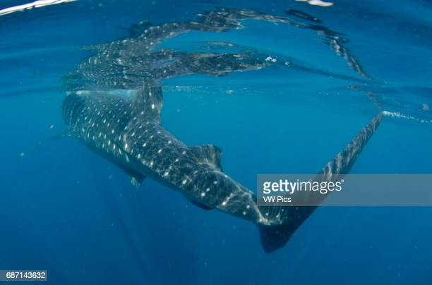 Whale shark, rhincodon typus, feeding on plancton near surface and snorkeler at Isla Mujeres Mexico.