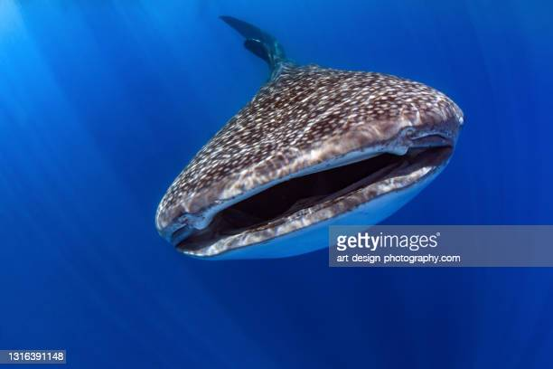whale shark, rhincodon typus - central sulawesi stock pictures, royalty-free photos & images