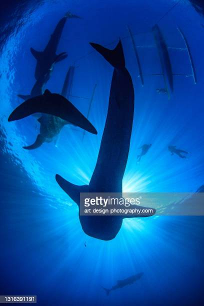 whale shark, rhincodon typus, snorkeler observing four whale sharks - central sulawesi stock pictures, royalty-free photos & images