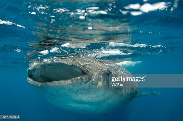 whale shark rhincodon typus wide open mouth while feeding on plancton near surface at Isla Mujeres Mexico