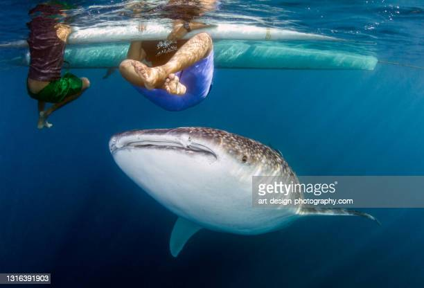 whale shark; rhincodon typus with children - sulawesi stock pictures, royalty-free photos & images