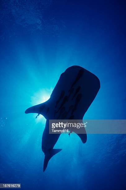 whale shark silo - sea of cortez stock pictures, royalty-free photos & images