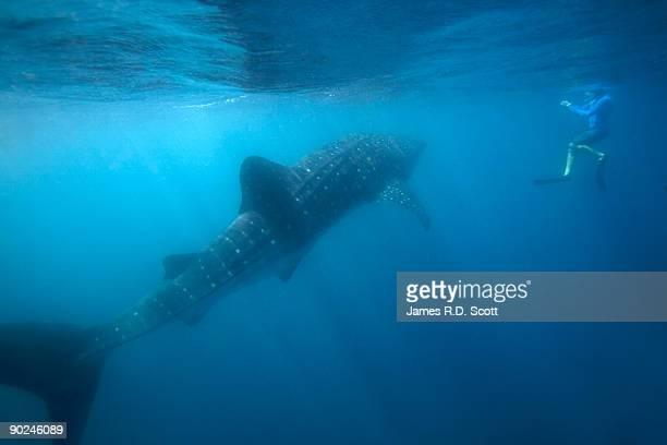 Whale Shark & Snorkeler