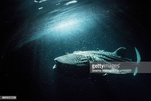 Whale shark swim under sea surface at night