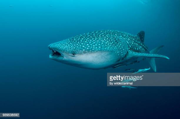 Whale shark swimming at the surface, Cenderawasih Bay, West Papua, Indonesia.