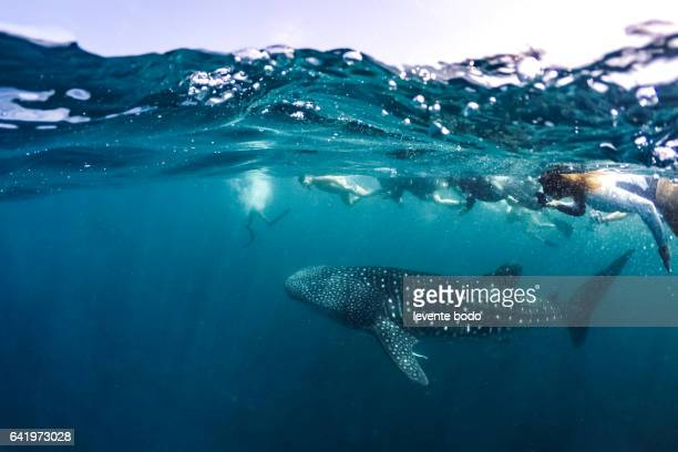 Whale Shark (Rhincodon typus) swimming right at the camera in crystal clear blue waters off the coast of Maldives. Marine life and underwater scene, sun rays and sunlight. Adventures wildlife banner