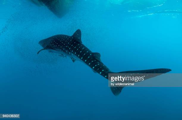 Whale shark swimming through a school of bait fish, Cenderawasih Bay, West Papua, Indonesia.