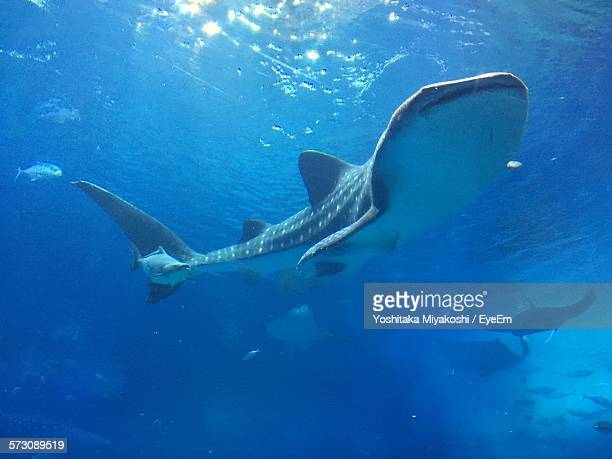 whale shark swimming undersea - whale shark stock pictures, royalty-free photos & images