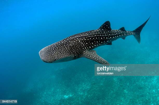 whale shark swimming underwater, dumaguete, oslob, philippines - whale shark stock pictures, royalty-free photos & images