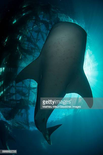 Whale shark swimming up to the surface, silhouetted against sunrays.