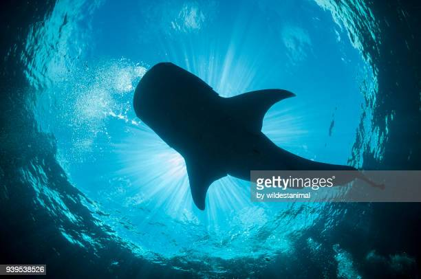 Whale shark swims overhead, Cenderawasih Bay, West Papua, Indonesia.