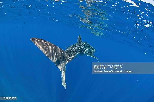 whale shark tail near surface with sun rays, christmas island, australia. - christmas island stock pictures, royalty-free photos & images