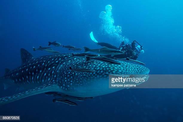 Whale shark, Thailand