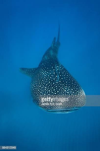 Whale Shark - Tofo Mozambique