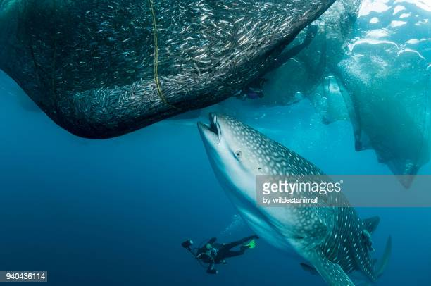 Whale shark trying to feed from the fishing nets hanging from a floating fishing platform, Cenderawasih Bay, West Papua, Indonesia.