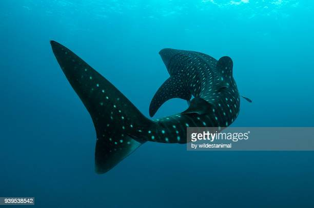 Whale shark turns in front of the camera, Cenderawasih Bay, West Papua, Indonesia.