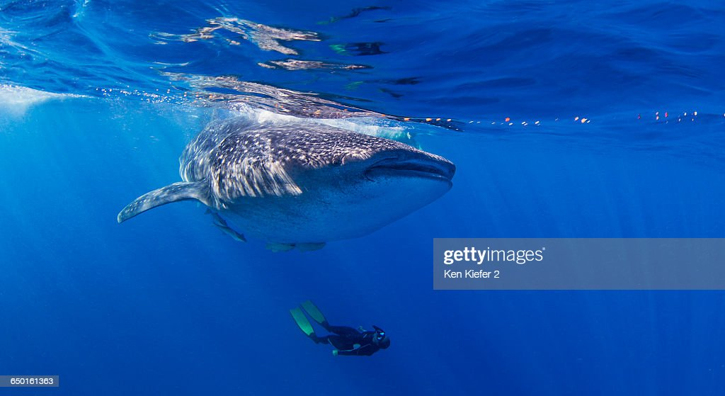 Whale Shark with diver swimming underneath : Stock Photo