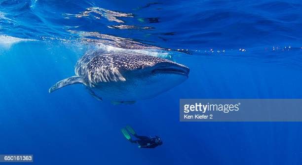 whale shark with diver swimming underneath - isla mujeres stock photos and pictures