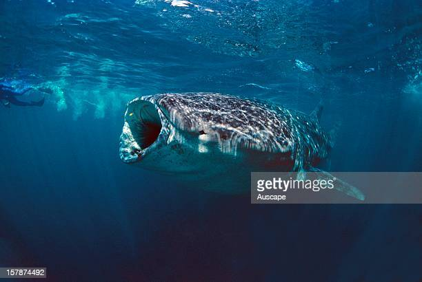 Whale shark with gaping mouth about a metre across Ningaloo Marine Park north of Carnarvon Western Australia