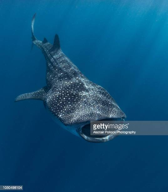 whale shark with mouth open - whale shark stock pictures, royalty-free photos & images